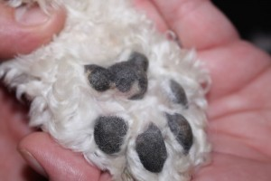Paw Pads After